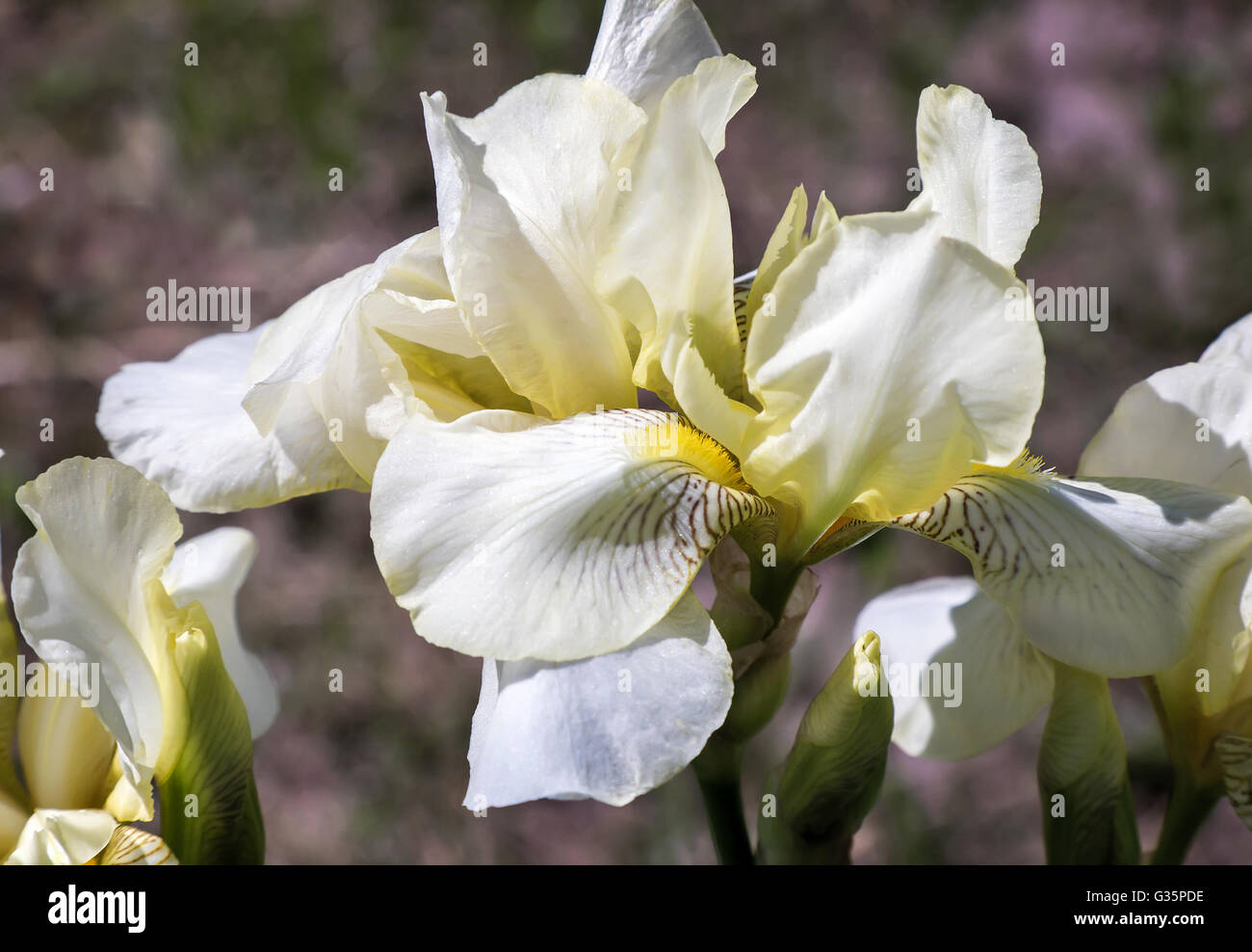 Closeup of the beautiful blossoms of pale yellow iris flowers on a closeup of the beautiful blossoms of pale yellow iris flowers on a background of garden irises and other flowers izmirmasajfo