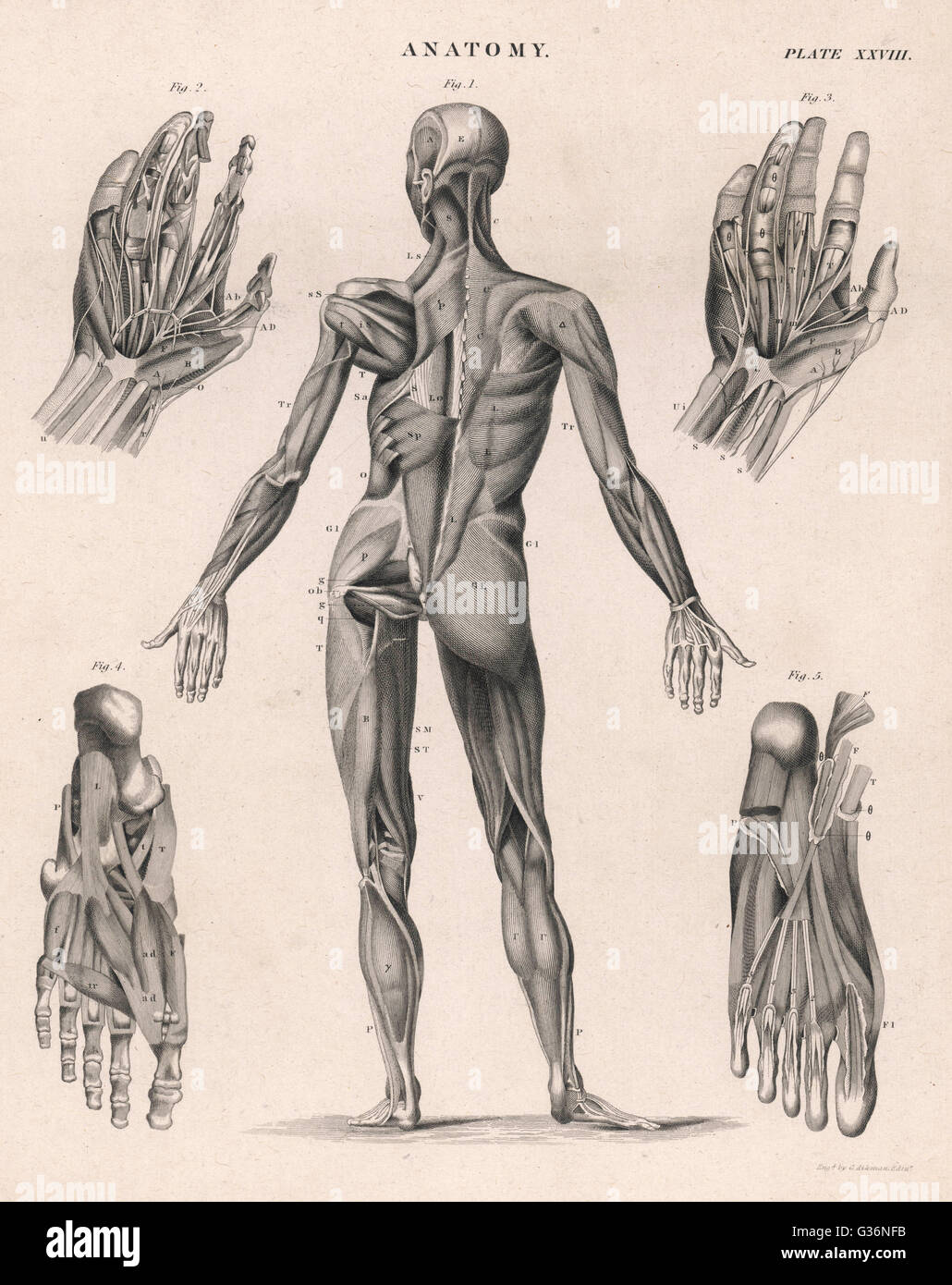 a human body, showing the muscles of the body, hands and feet, Cephalic Vein