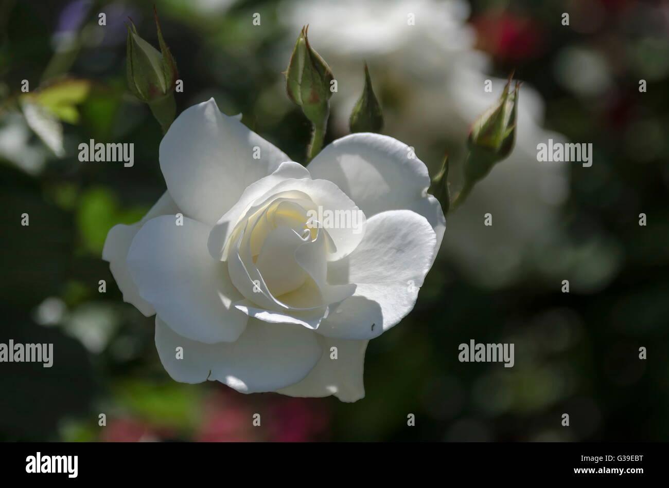 White Garden Rose Bush white rose bush in bloom at natural outdoor garden, sofia