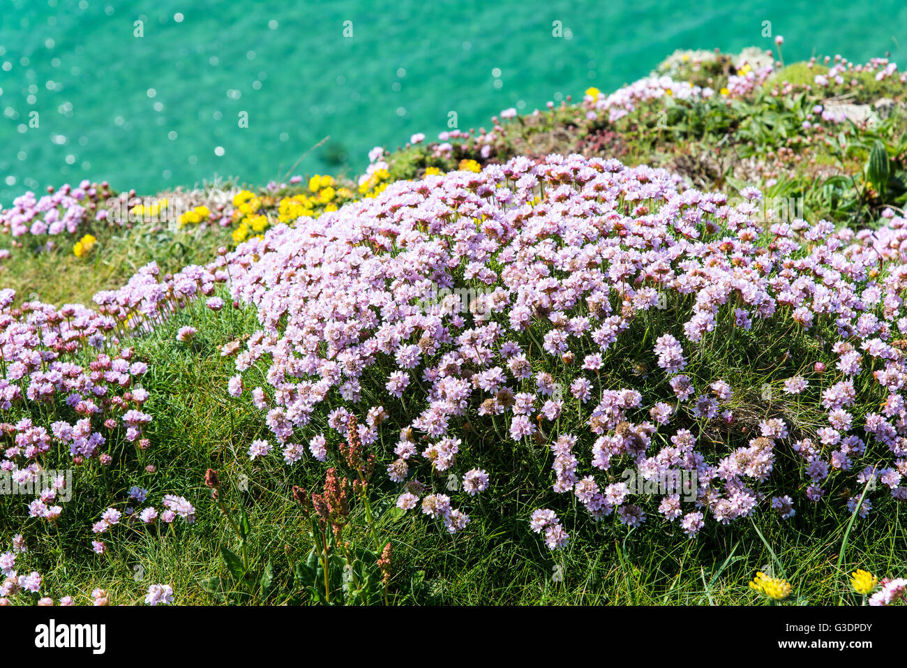 Clump of sea pinks or thrift armeria maritima on the north clump of sea pinks or thrift armeria maritima on the north cornwall coast mightylinksfo Image collections