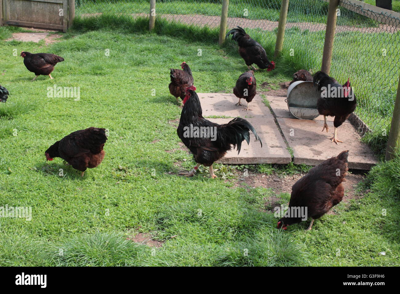 rhode island red and hen chickens stock photo royalty free