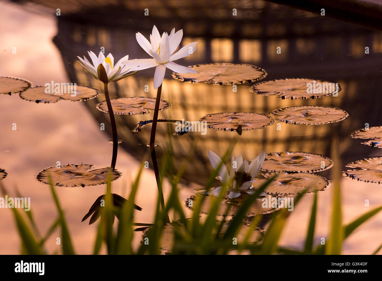 Tropical water lily flowers and pads with colorful sunrise and stock tropical water lily flowers and pads with colorful sunrise and conservatory dome reflected in water izmirmasajfo Images