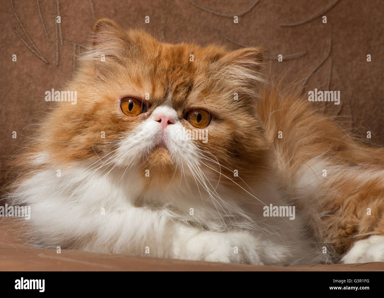The Persian cat red with white color sits on a sofa and