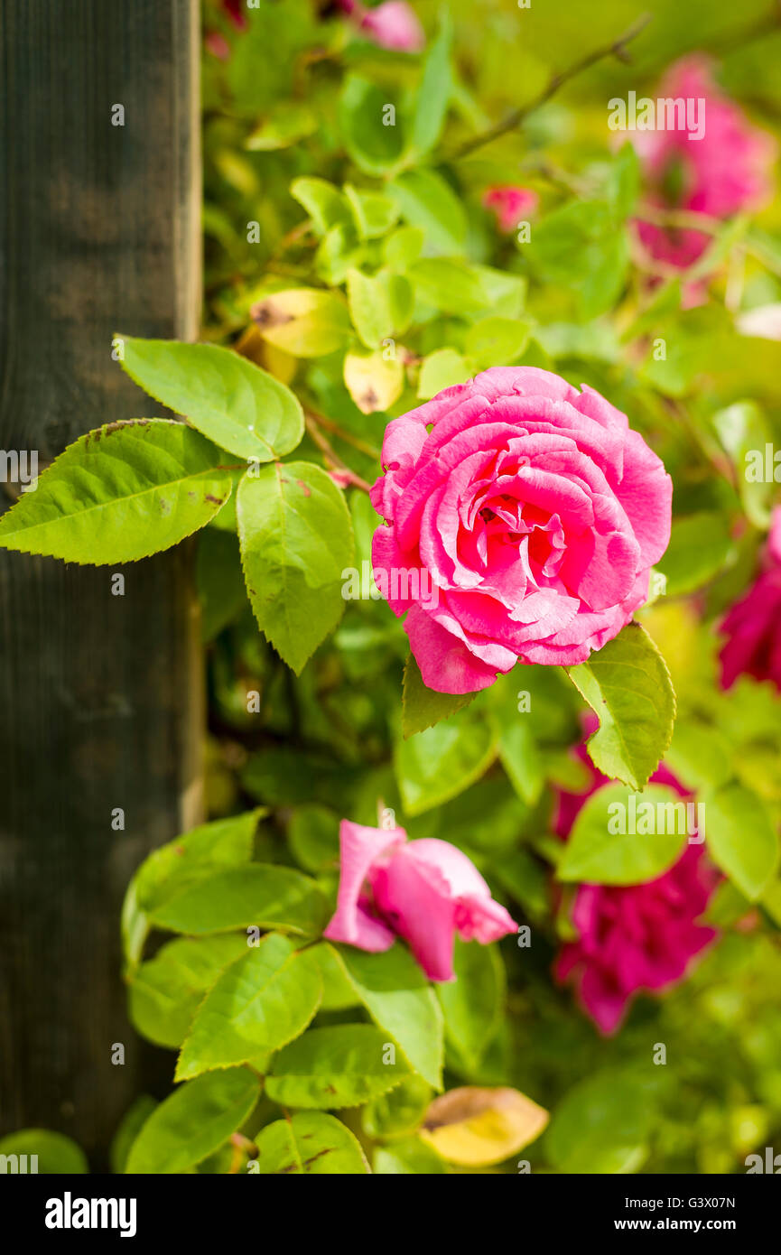 Love Garden Roses: Rosa Zephirine Drouhin Growing Up An Arch Support Stock
