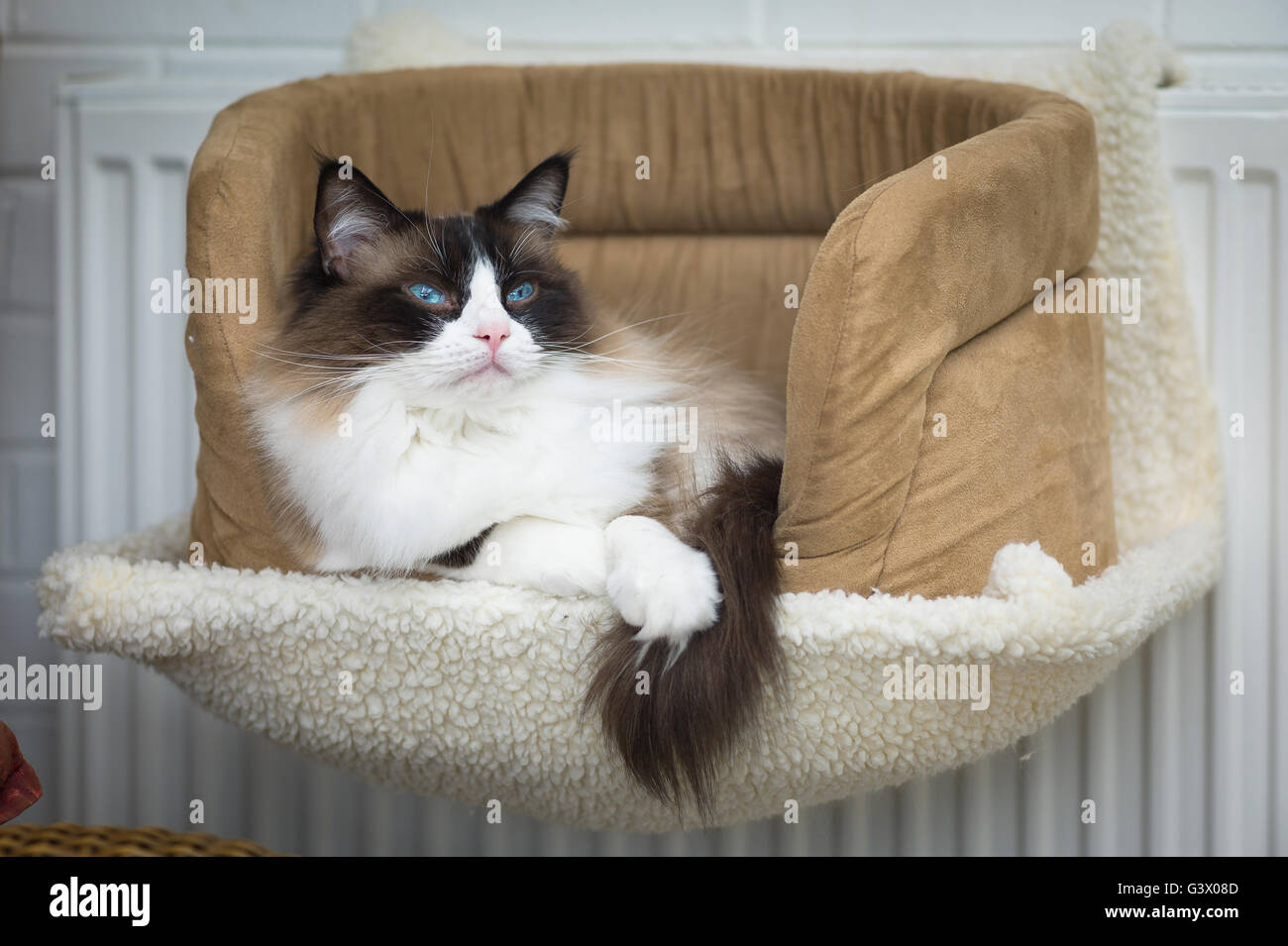 an alert ragdoll cat in a bed within a hammock fixed to a heating radiator an alert ragdoll cat in a bed within a hammock fixed to a heating      rh   alamy