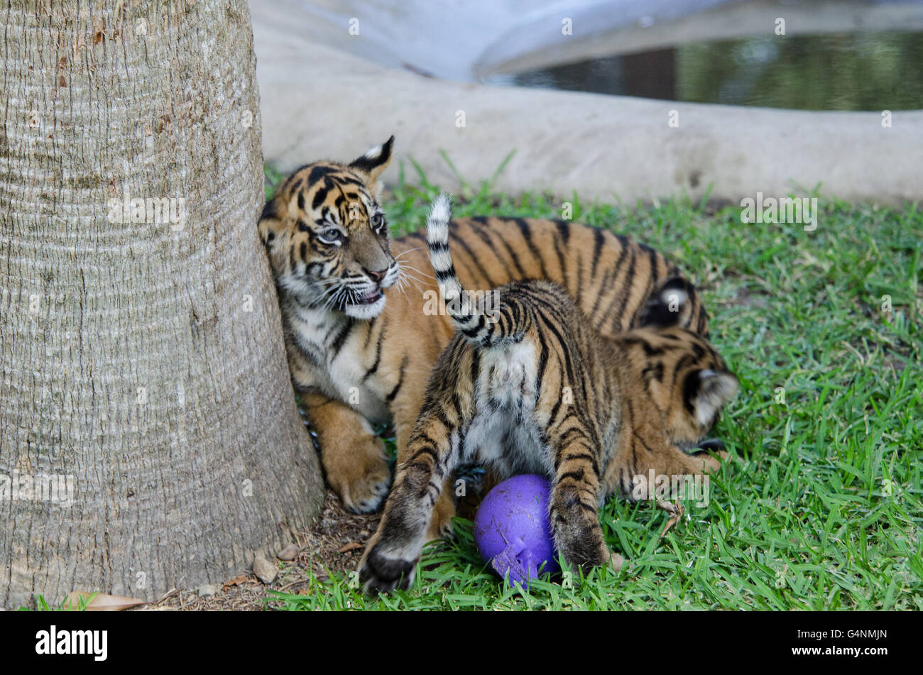 Tiger Cubs Playing With Cat | www.pixshark.com - Images ...