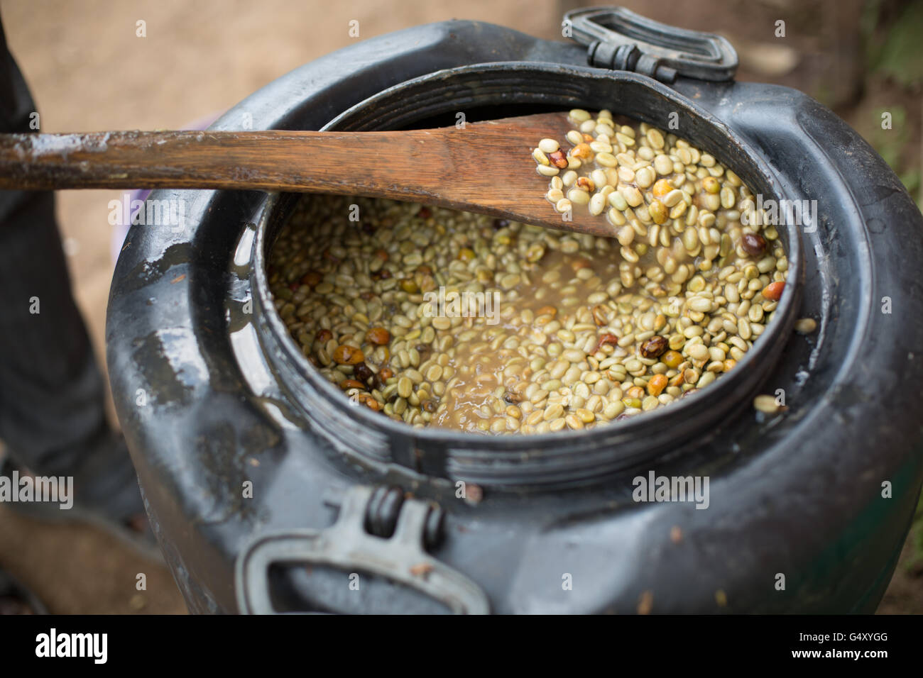 Fermenting Coffee Beans ~ A worker stirs coffee beans in fermentation tank at