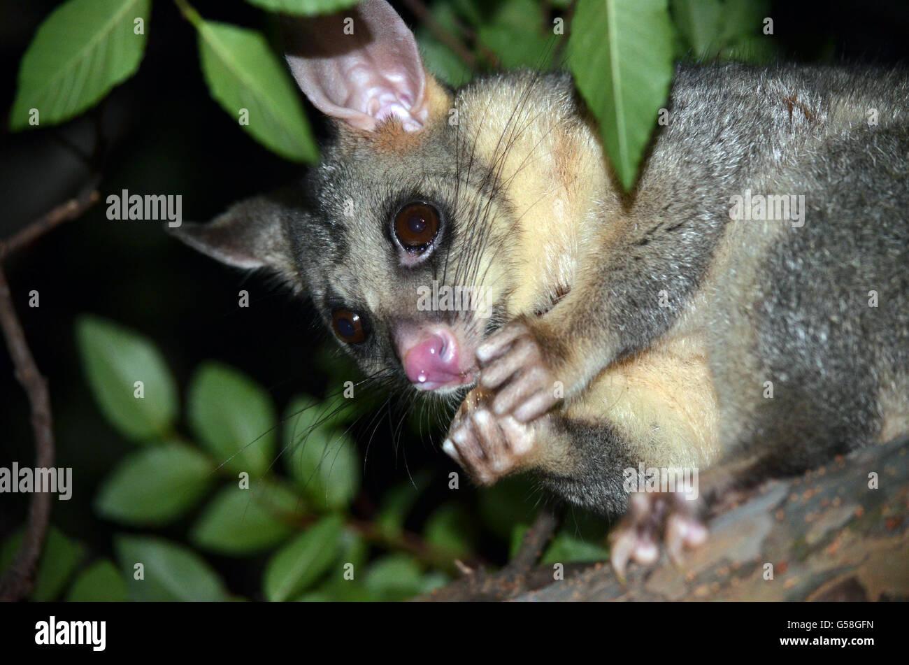 Australian Brushtail Possum Eating Fruit In A Sydney Backyard