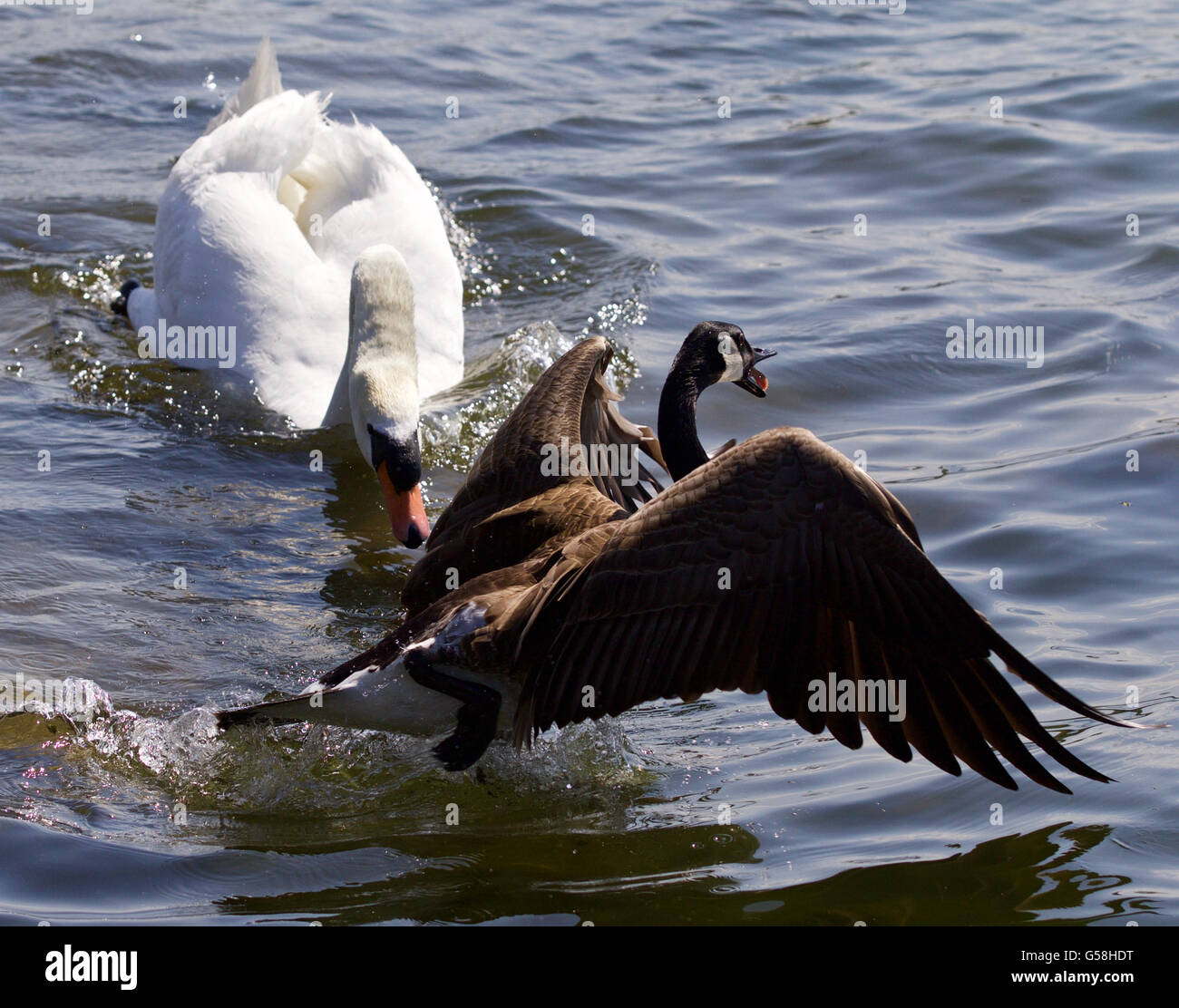 Amazing emotional moment with the swan attacking the canada goose amazing emotional moment with the swan attacking the canada goose biocorpaavc