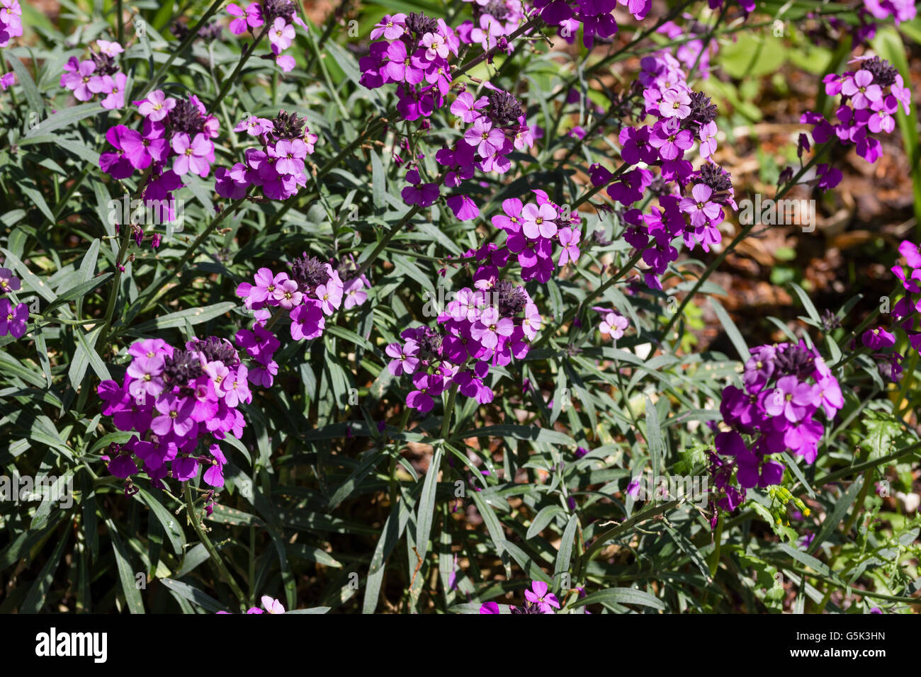 Light purple flowers of the hardy long flowering perennial stock light purple flowers of the hardy long flowering perennial wallflower cheiranthus bowles mauve dhlflorist Image collections