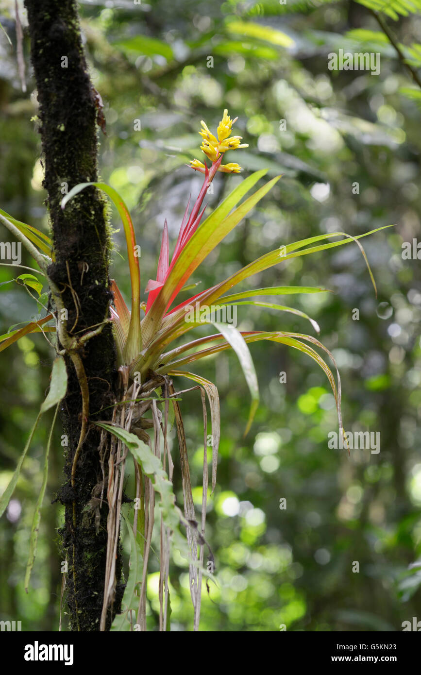 Tropical bromeliad flowering in rainforest, Costa Rica. See Stock ...