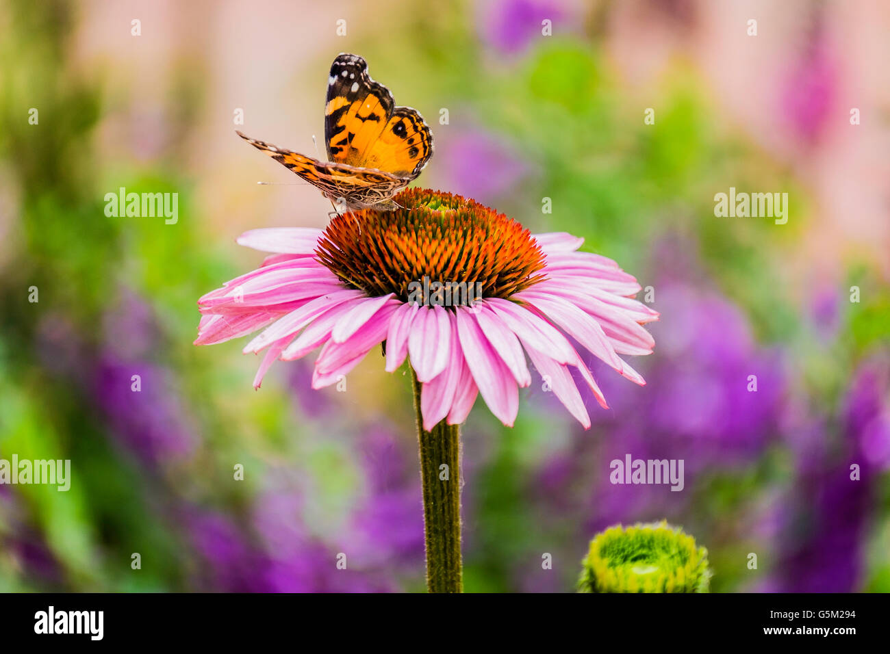 a-painted-lady-butterfly-vanessa-cardui-