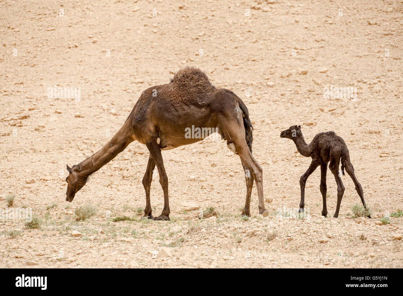 vertraue auf gott aber binde dein kamel an