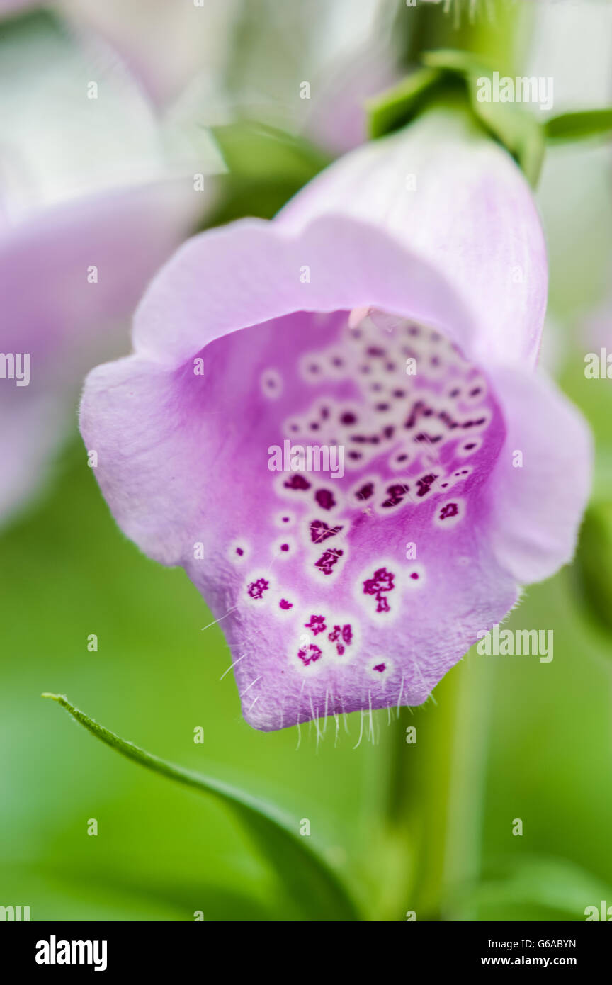 Spotted Pink Foxglove Flower Front View Stock Photo Royalty Free