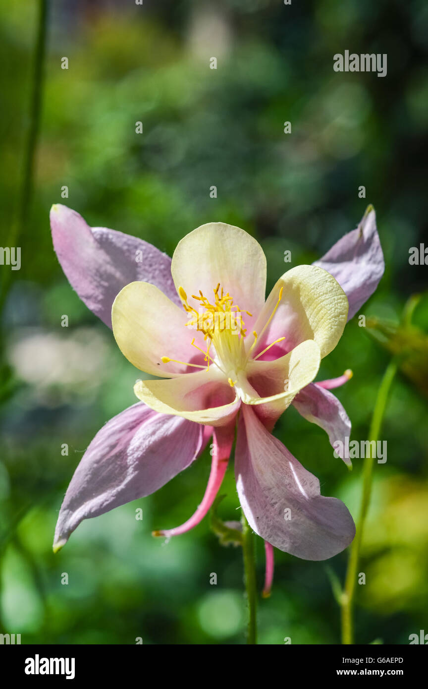 beautiful columbine flower with pink and yellow petals stock photo, Beautiful flower