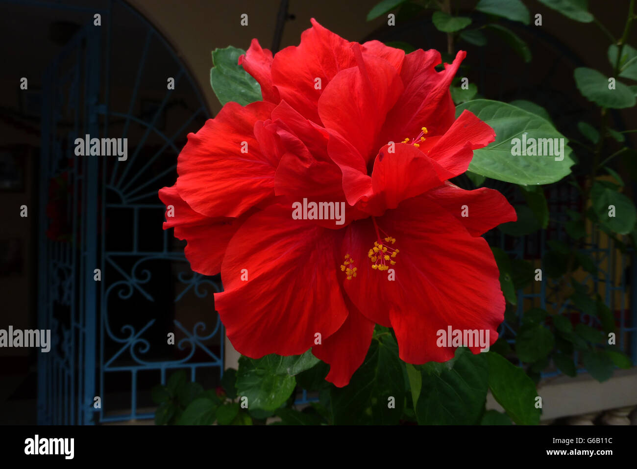 Hibiscus flowers popular across jamaica and many caribbean stock hibiscus flowers popular across jamaica and many caribbean islandses in several varieties red being the most common izmirmasajfo Choice Image