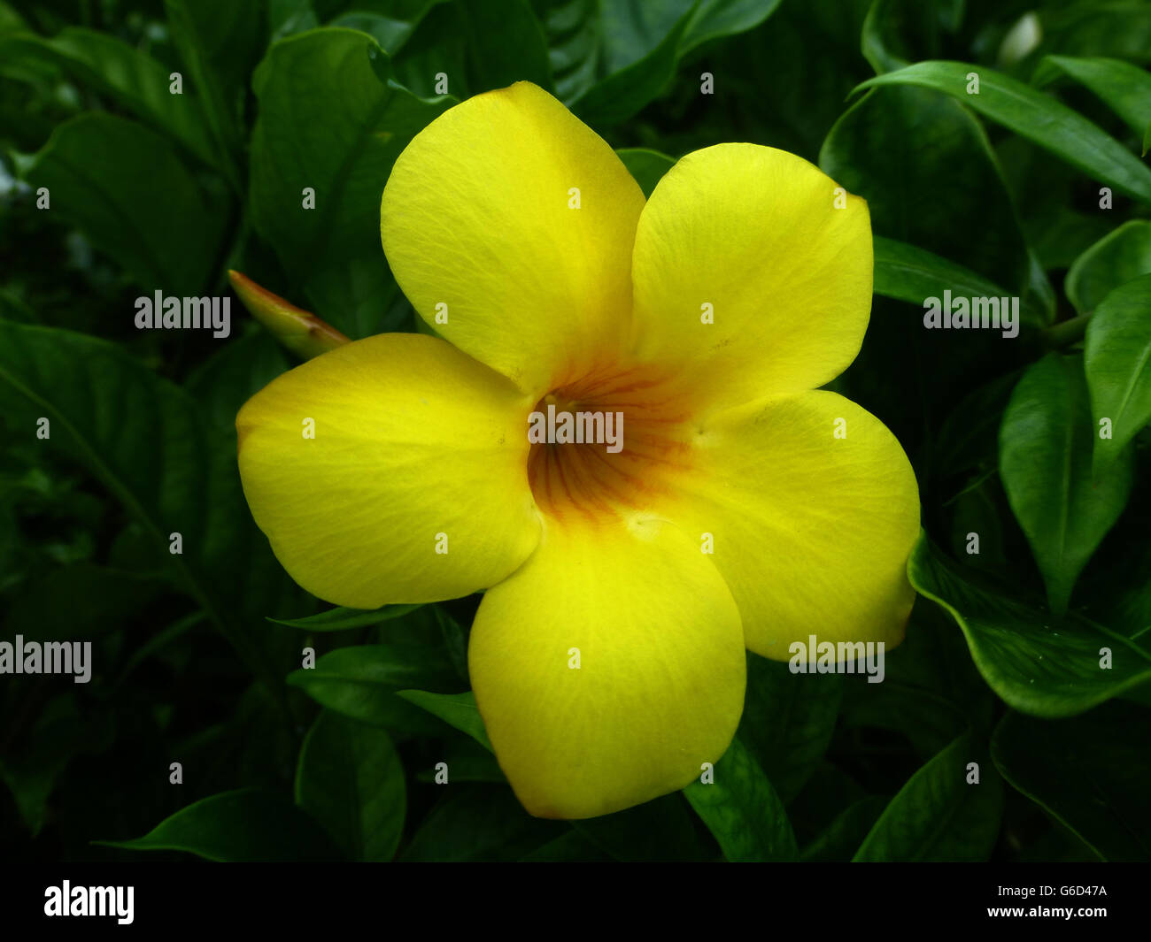 Beautiful yellow tropical flowers from jamaica stock photo beautiful yellow tropical flowers from jamaica izmirmasajfo