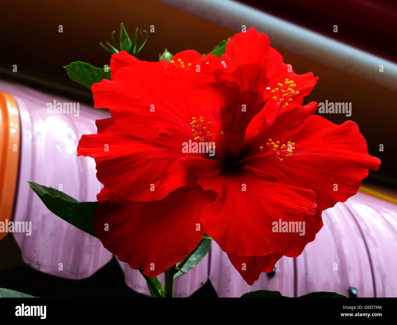 Hibiscus flower very popular in many varieties right across stock hibiscus flower very popular in many varieties right across jamaicaobably the most popular and treasured on the island izmirmasajfo Choice Image