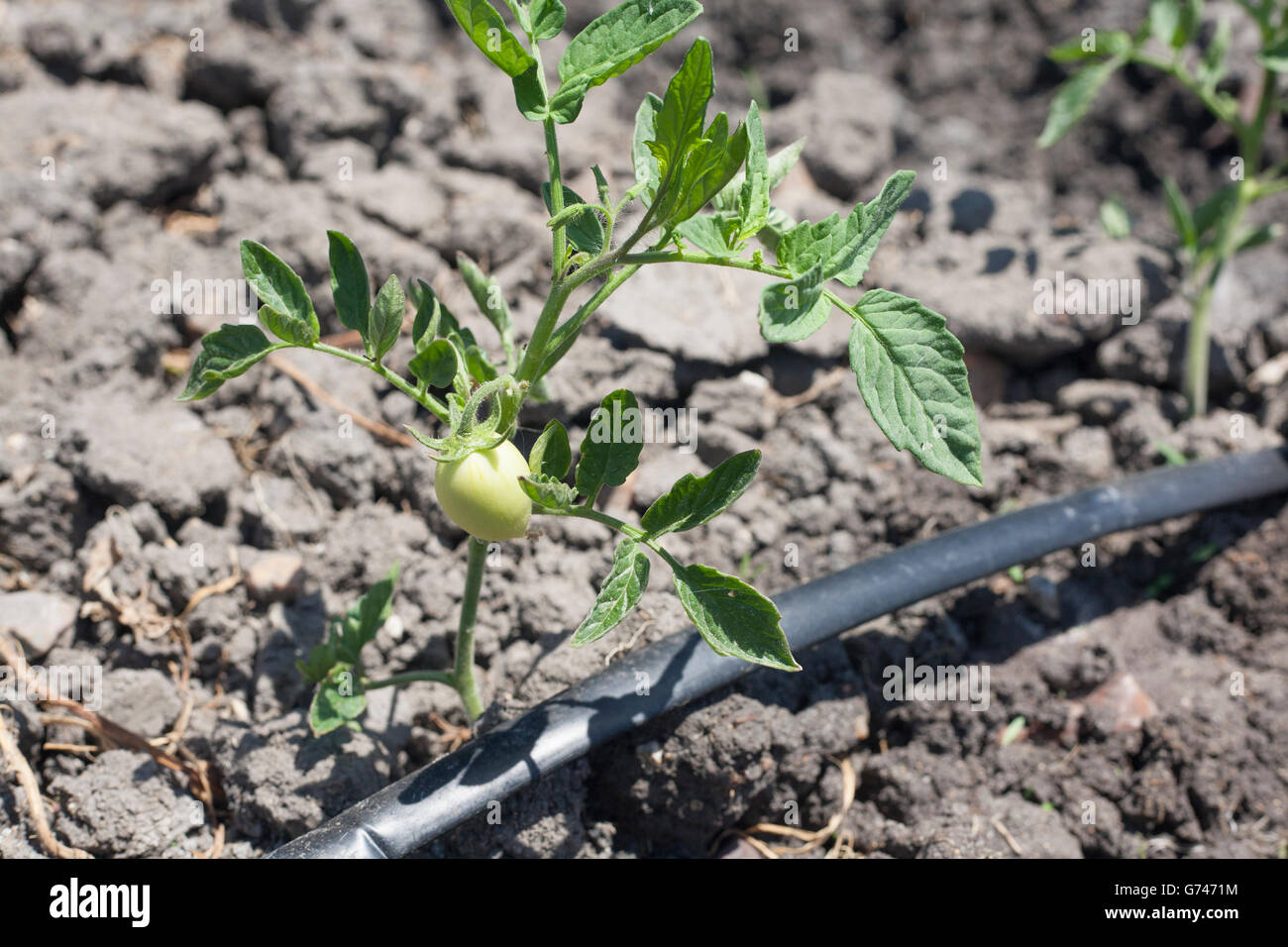 stock photo young tomato plant growing with drip irrigation system at vegas altas del guadiana spain example of sustentable agriculture sh
