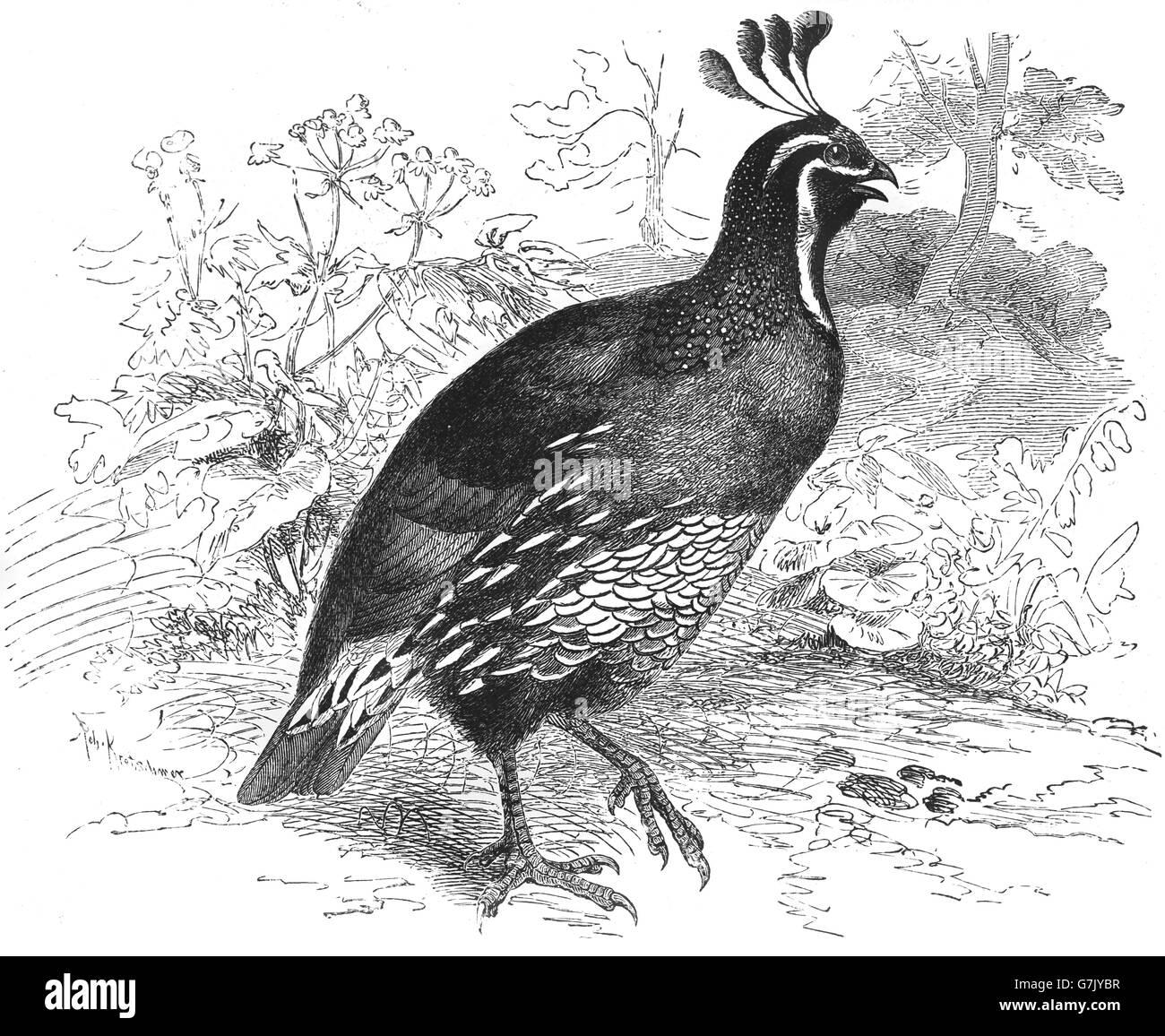 california quail callipepla californica california valley quail illustration from book dated 1904