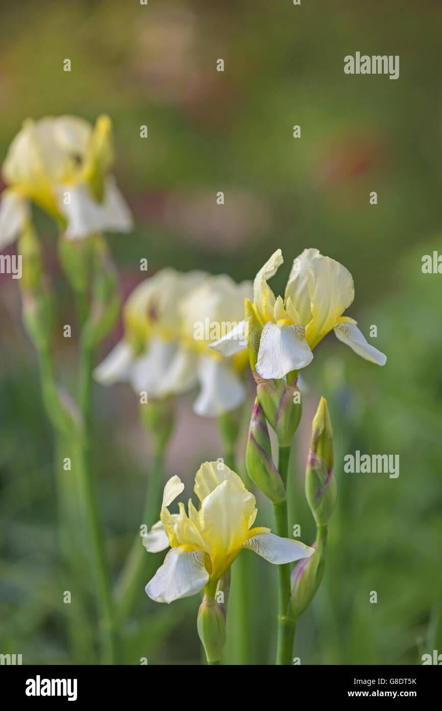 pale yellow iris flowers stock photo, royalty free image, Beautiful flower
