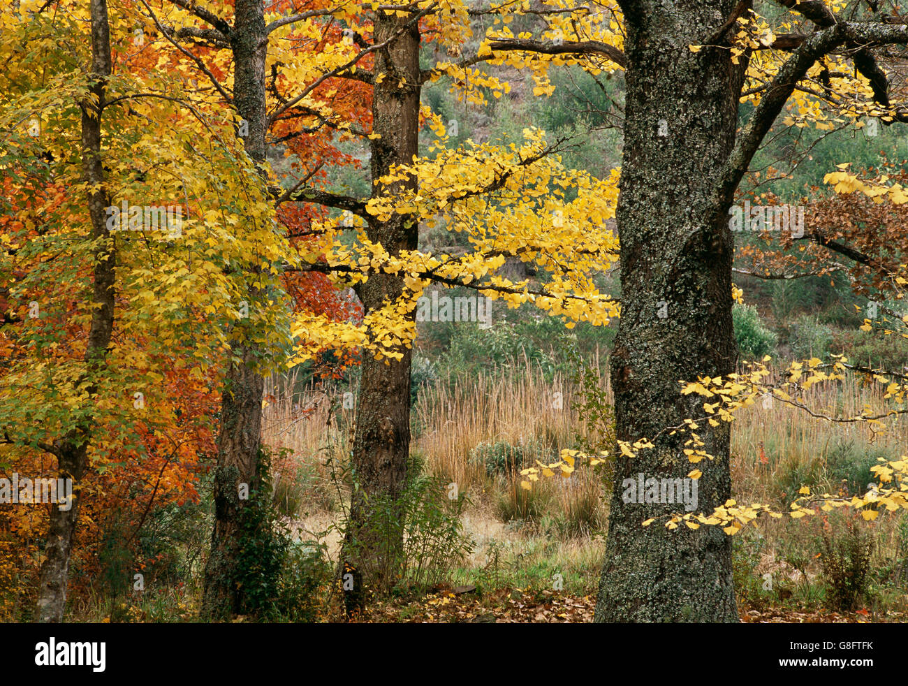 Ginkgo biloba and maple trees in autumn hogsback eastern cape ginkgo biloba and maple trees in autumn hogsback eastern cape south africa sciox Choice Image