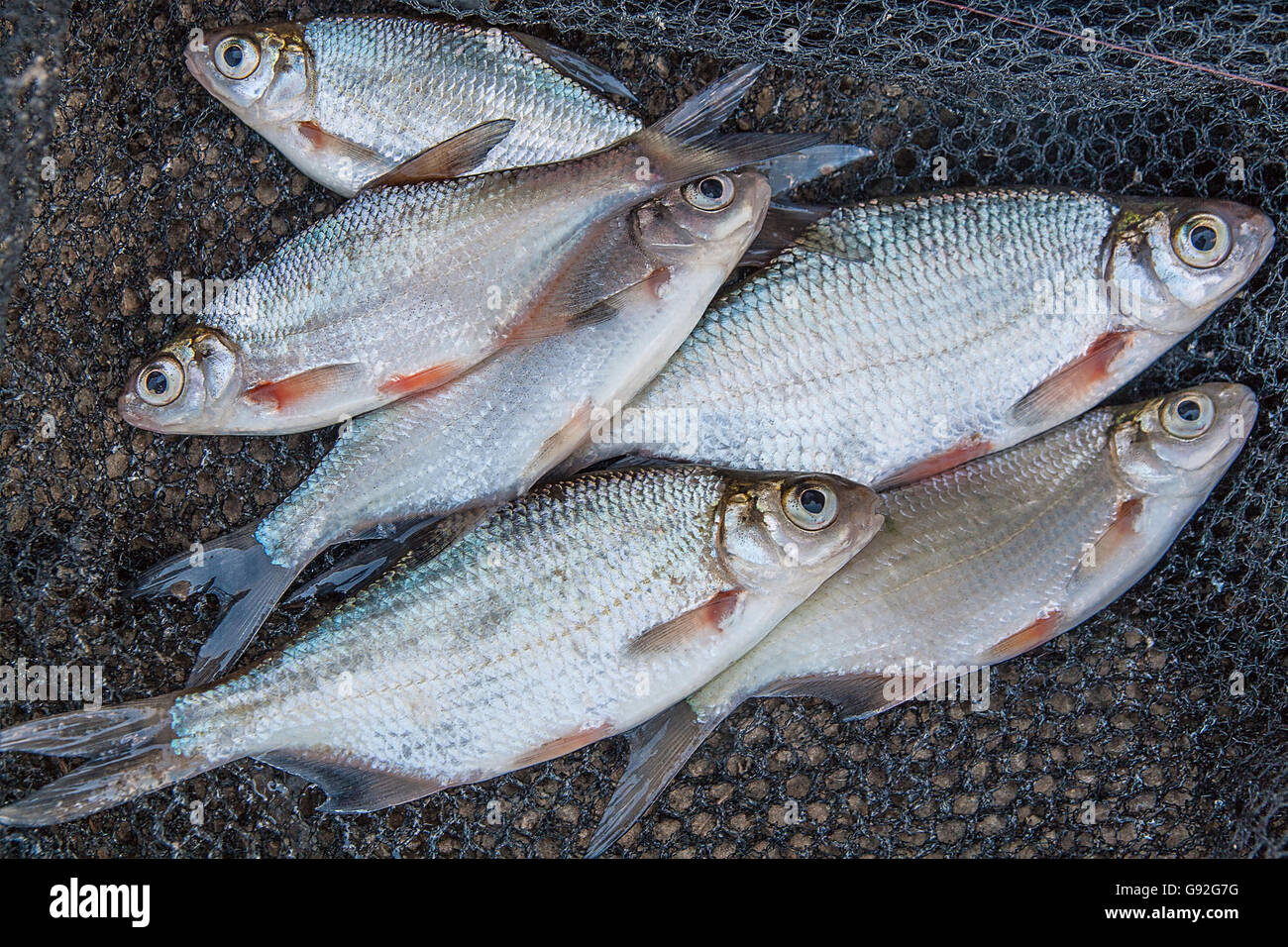 Freshwater fish bream - Freshwater Fish Just Taken From The Water Several Bream And Silver Bream Or White Bream On Black Fishing Net