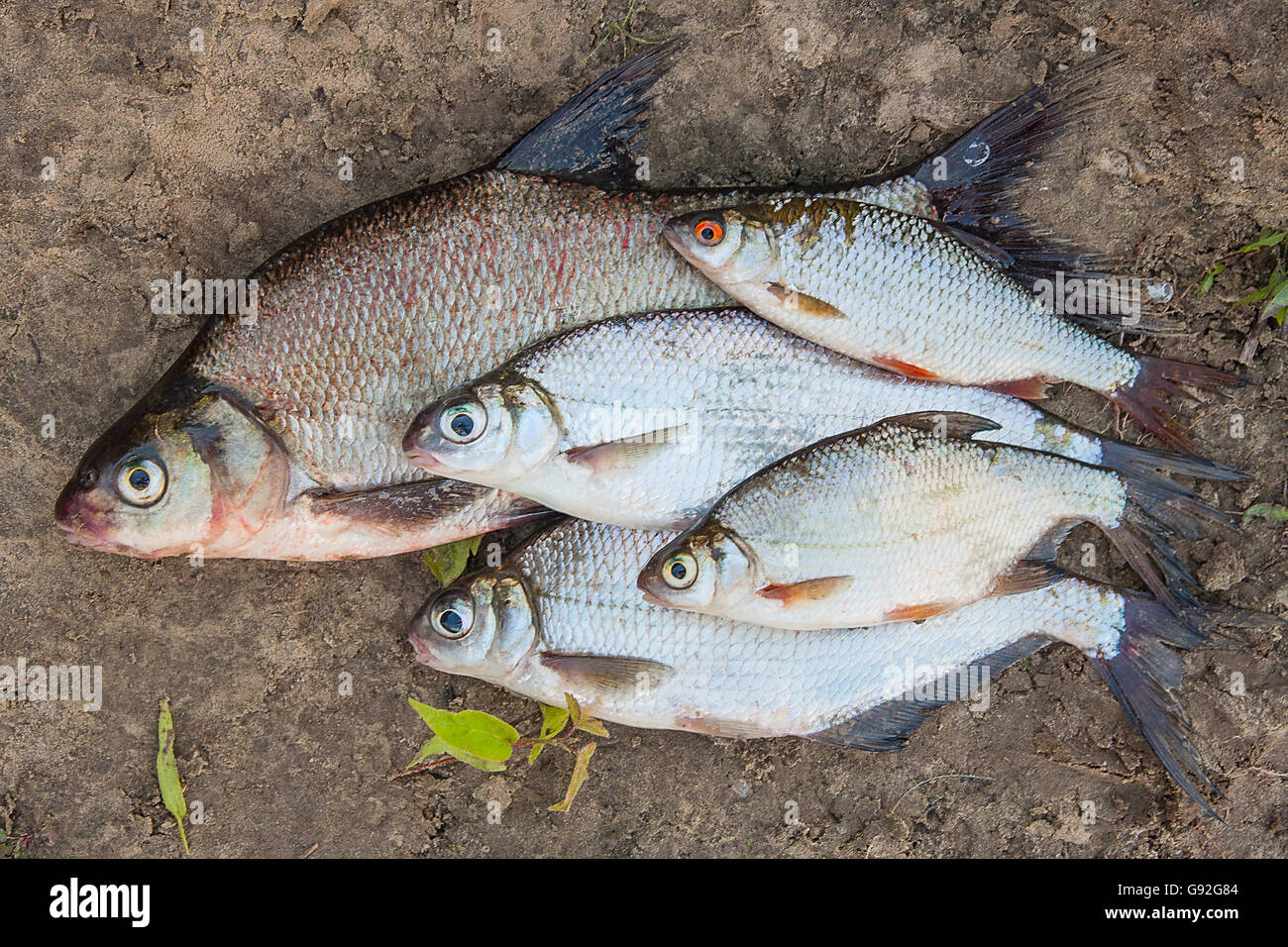Freshwater fish bream - Freshwater Fish Just Taken From The Water Several Bream Fish And Silver Bream Or White Bream On Natural Background