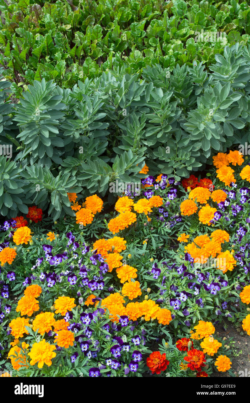 Marigolds And Violets Planted In A Vegetable Garden Border Uk Stock Photo Royalty Free Image