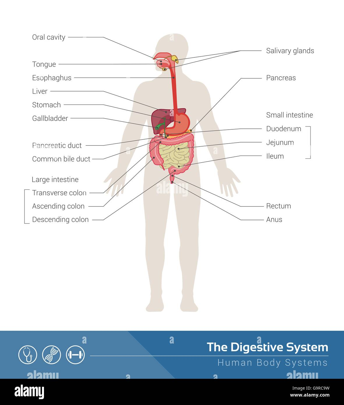The human digestive system medical illustration with internal organs the human digestive system medical illustration with internal organs ccuart Gallery