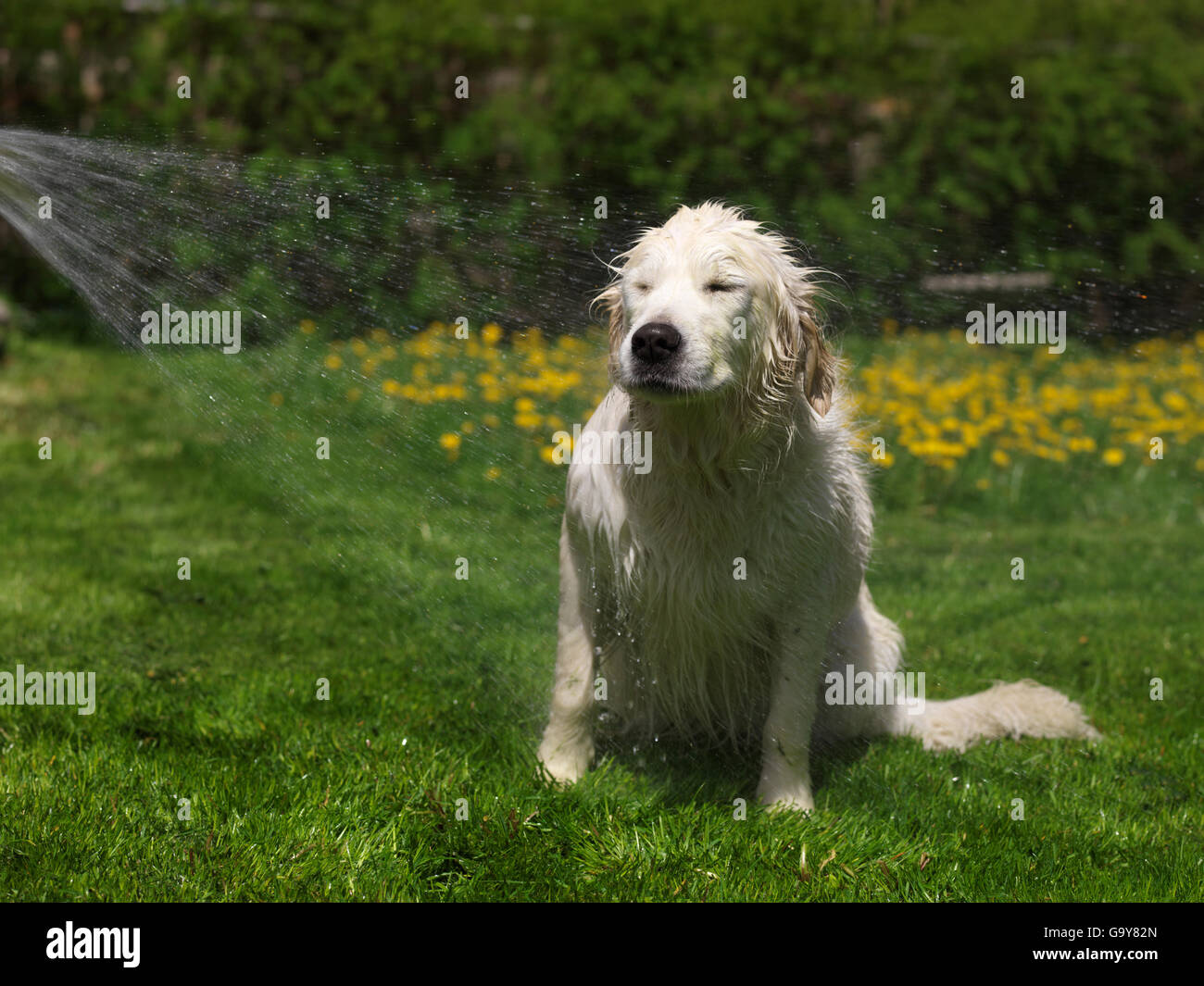 Golden retriever showers