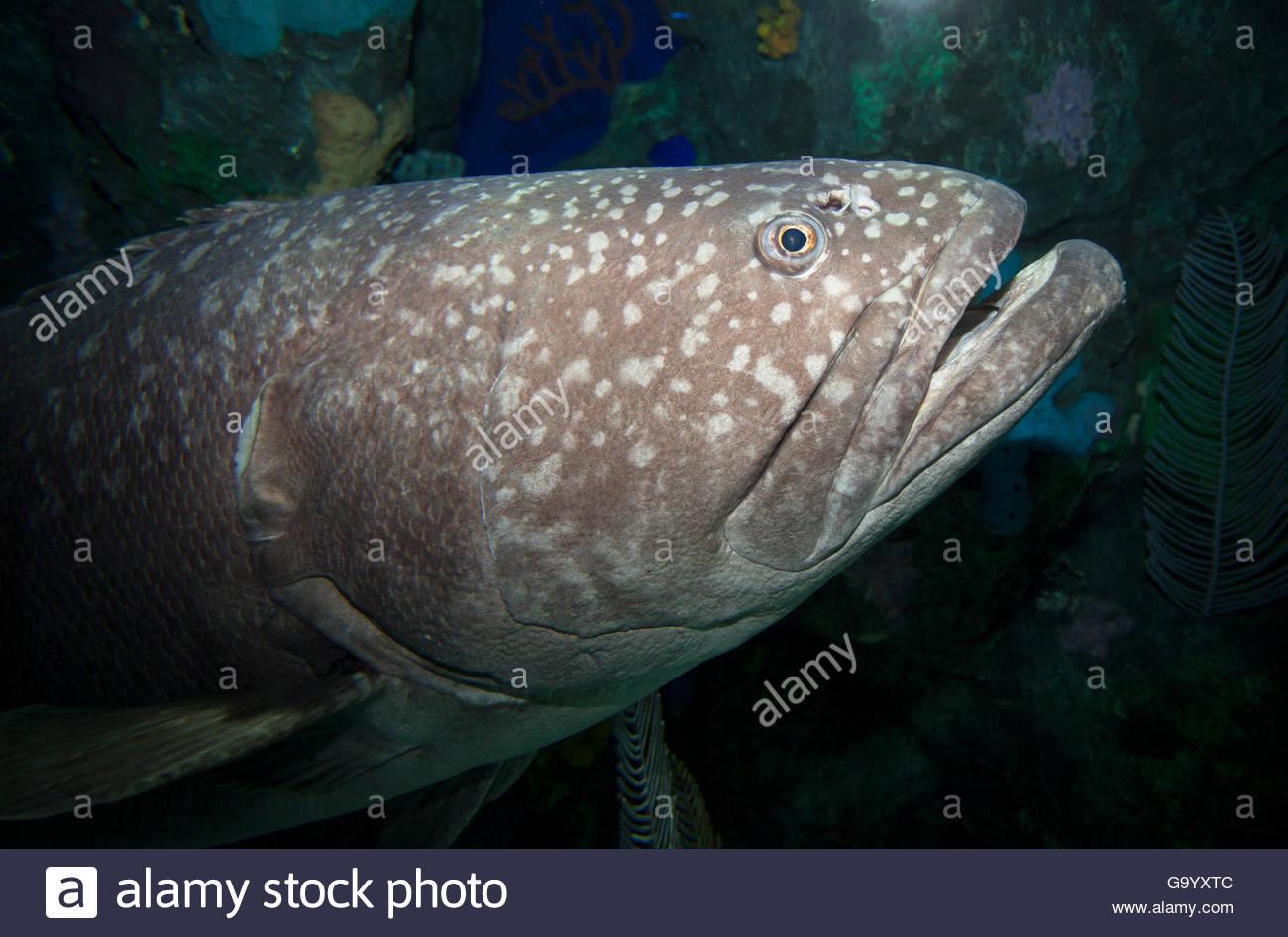 Fish in ripleys aquarium - Potato Cod Fish Ripley S Aquarium Of Canada A Night At The Aqueerium Pride 2016 Linda Dawn Hammond