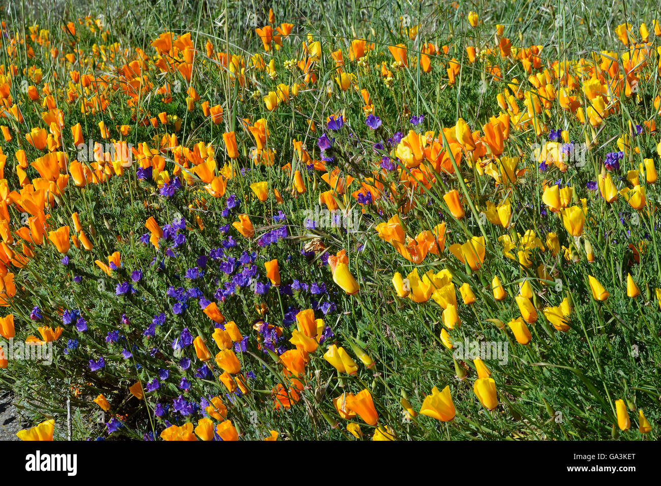 Poppy flower field at night royalty free stock photography image - Search Stock Photos By Tags