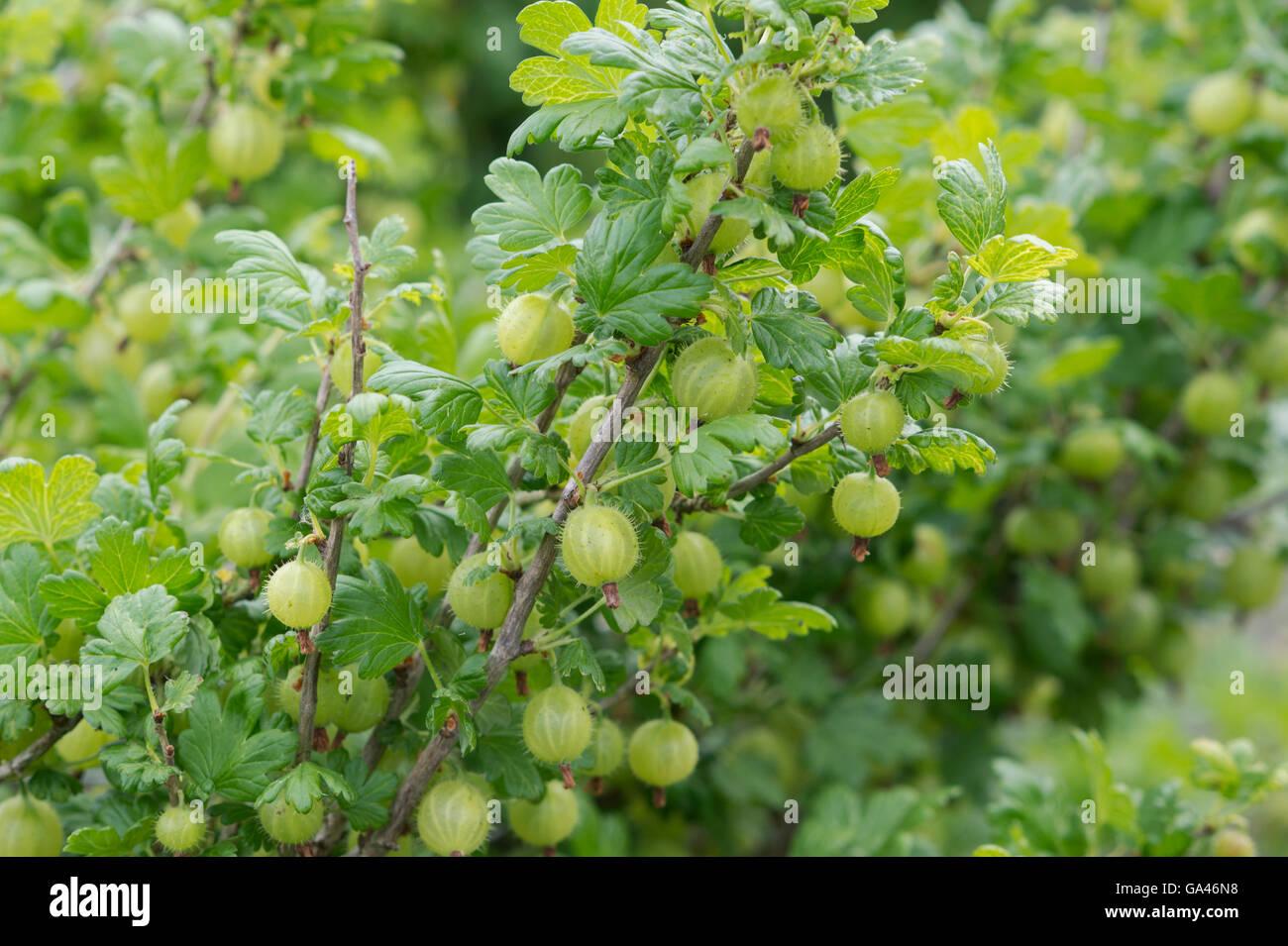 ribes uva crispa gooseberry invicta gooseberries on the bush stock photo royalty free image. Black Bedroom Furniture Sets. Home Design Ideas