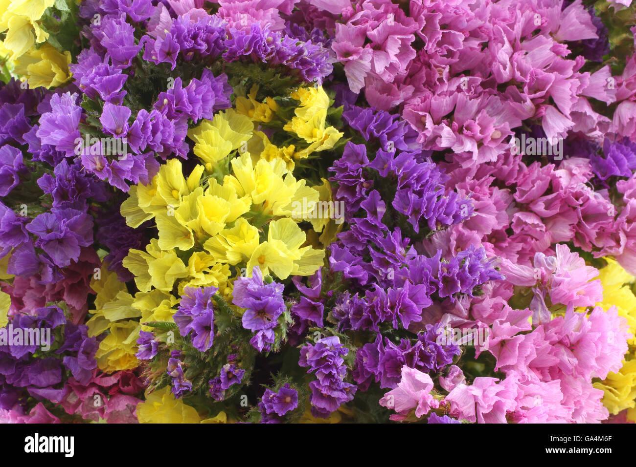 pink purple yellow statice flowers limonium background stock