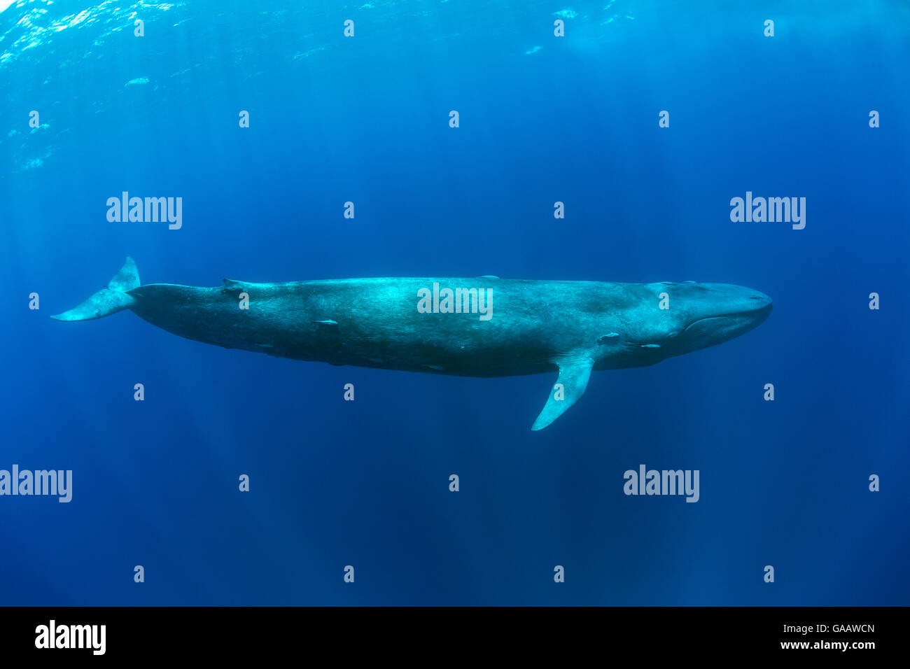 Blue whale  WWFAustralia  WWFAustralia