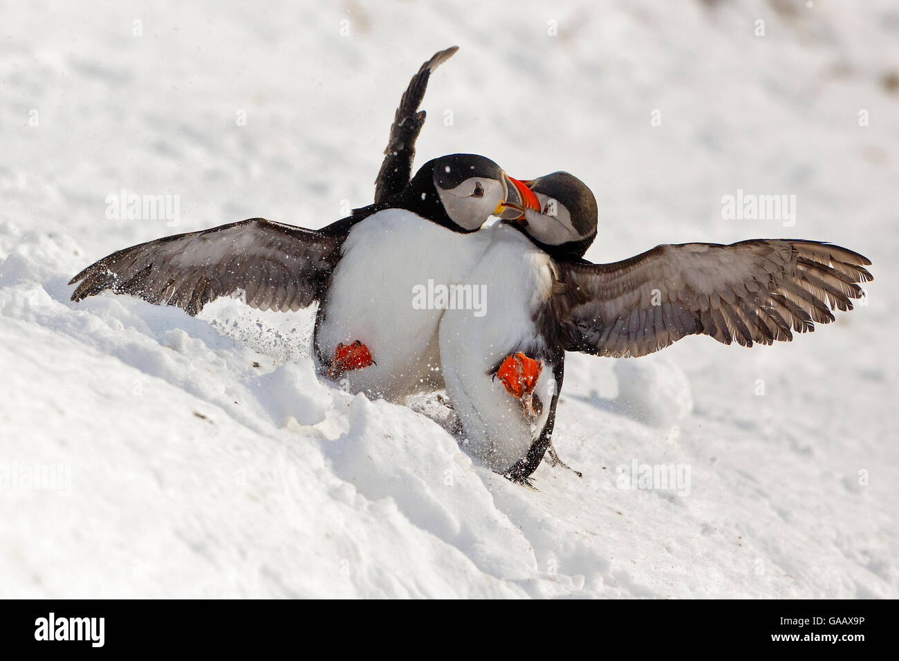 Atlantic Puffin Fratercula Arctica Two Fighting In Snow