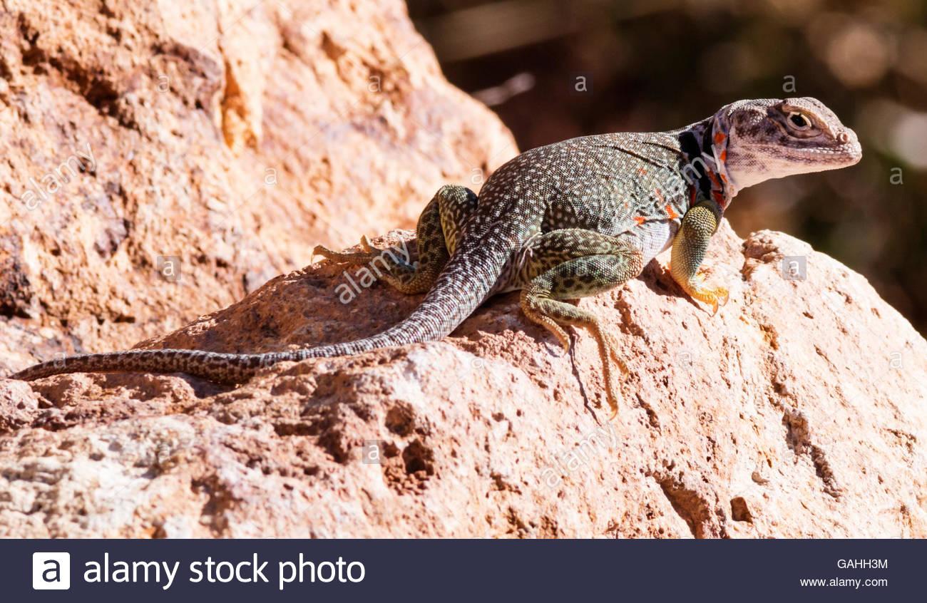 Collared Lizard / Crotaphytus Collaris Stock Photo - Image: 48962668