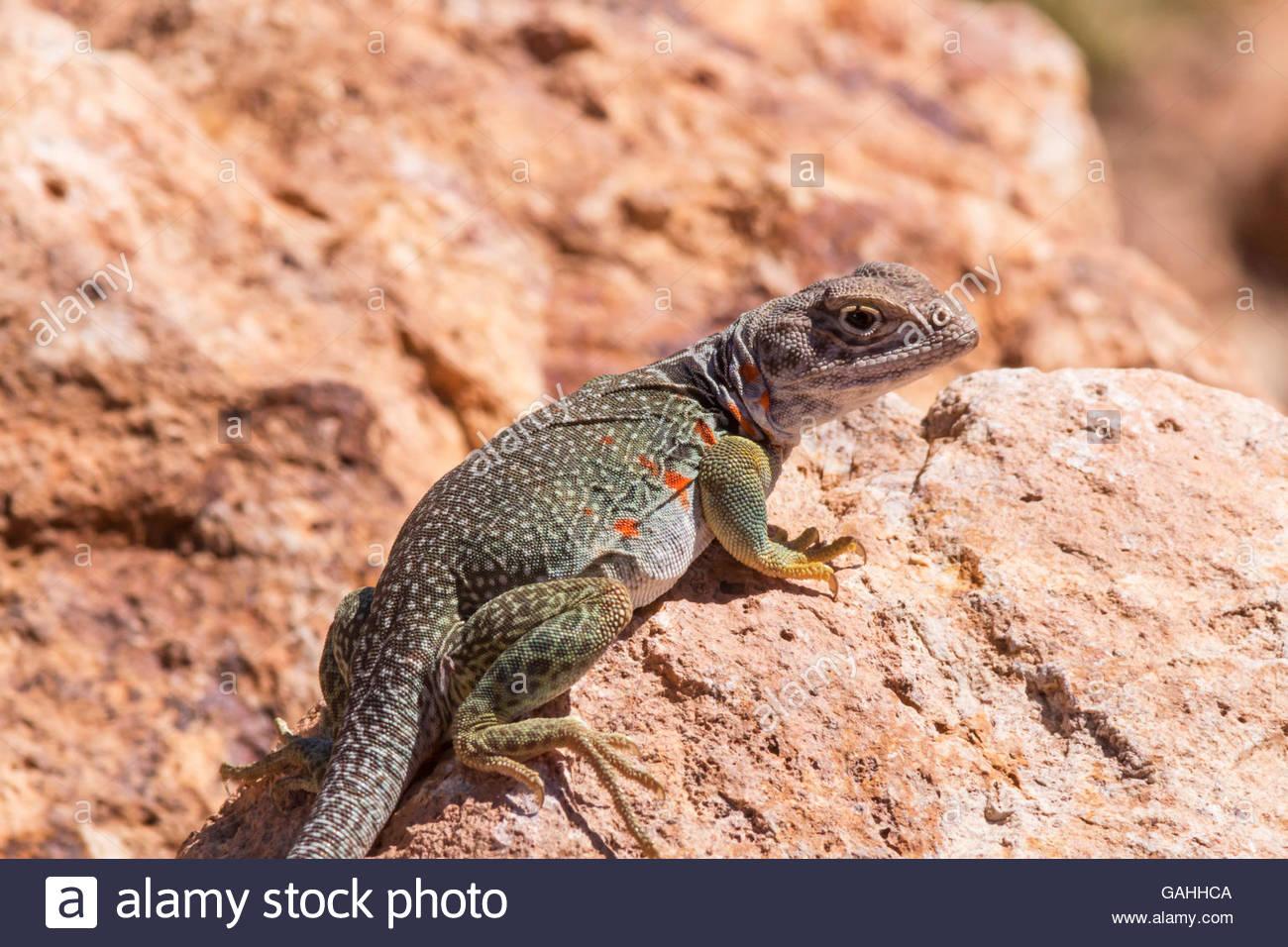 Eastern Collared Lizard (Crotaphytus collaris) - Reptiles of Arizona