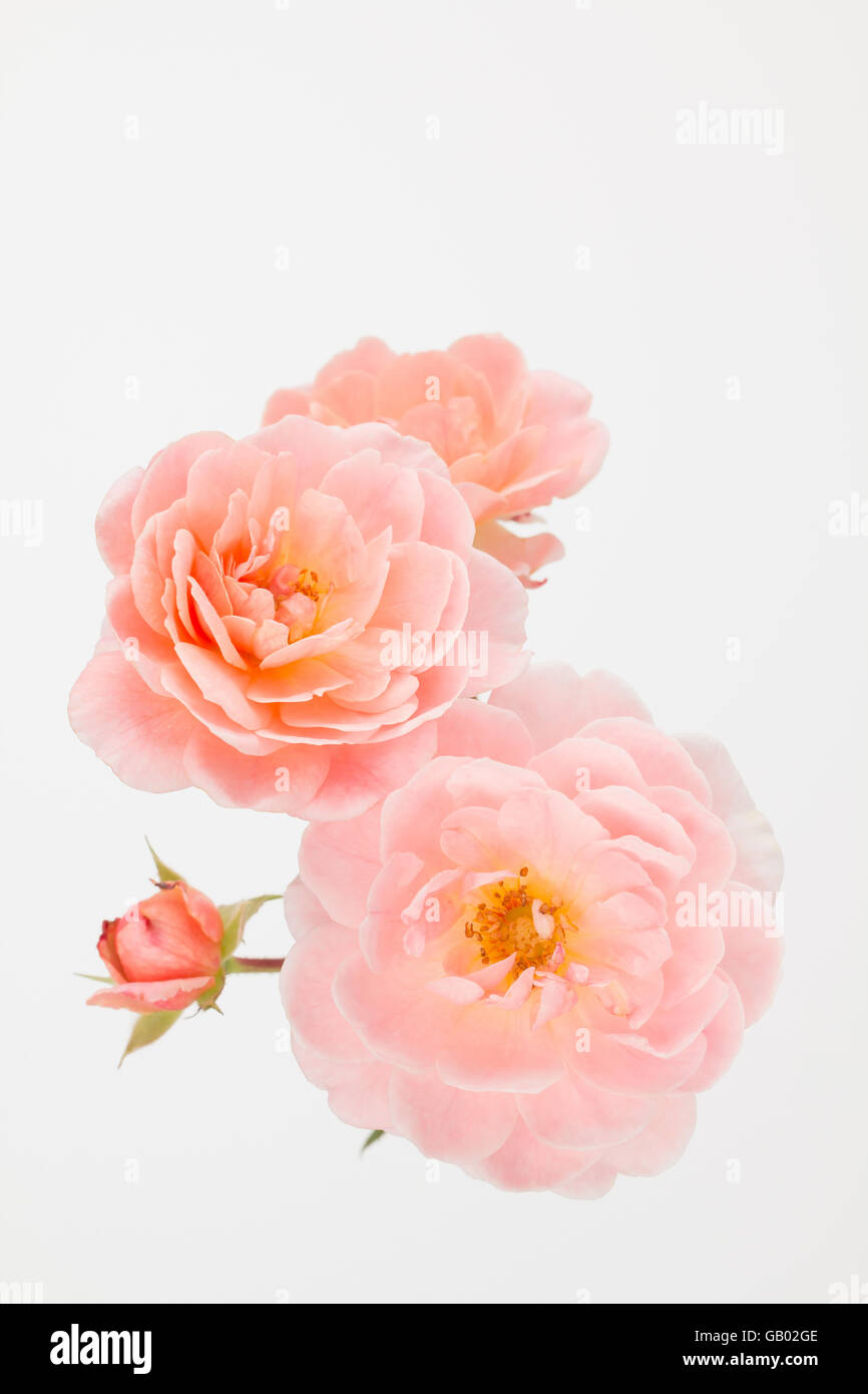 close up of peach garden rose cluster with off white background rosa apricot drift studio photograph - Peach Garden Rose