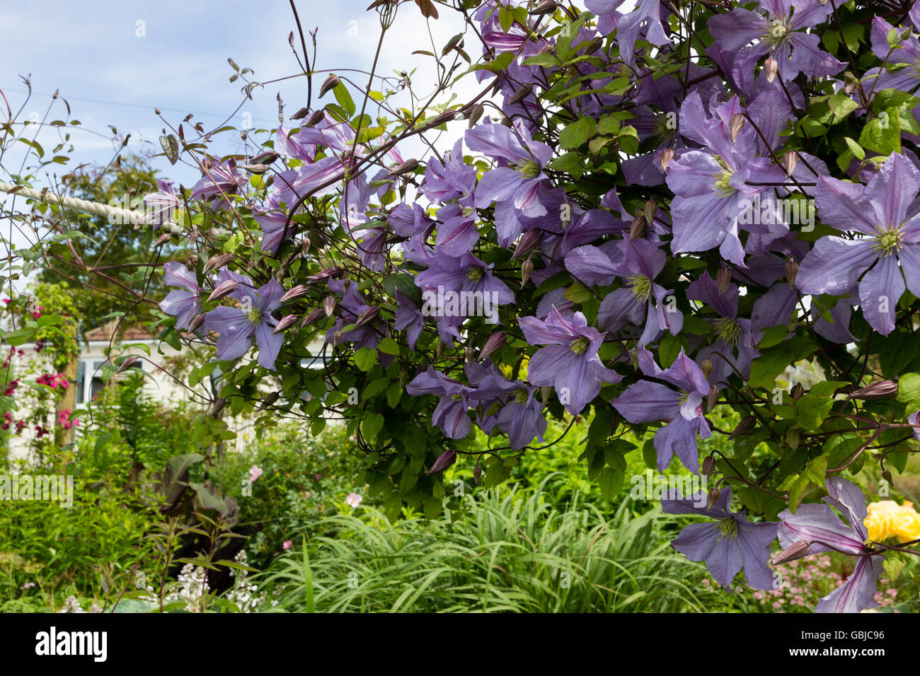 clematis viticella 39 prince charles 39 climbing a post and. Black Bedroom Furniture Sets. Home Design Ideas