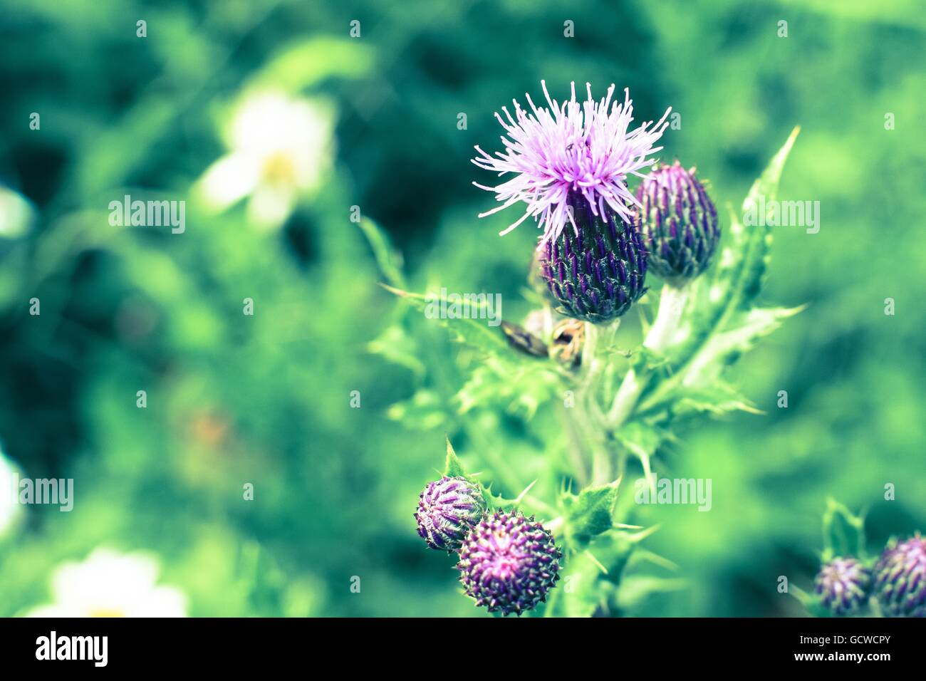 Purple thistle flower against green foilage national symbol of purple thistle flower against green foilage national symbol of scotland buycottarizona Image collections