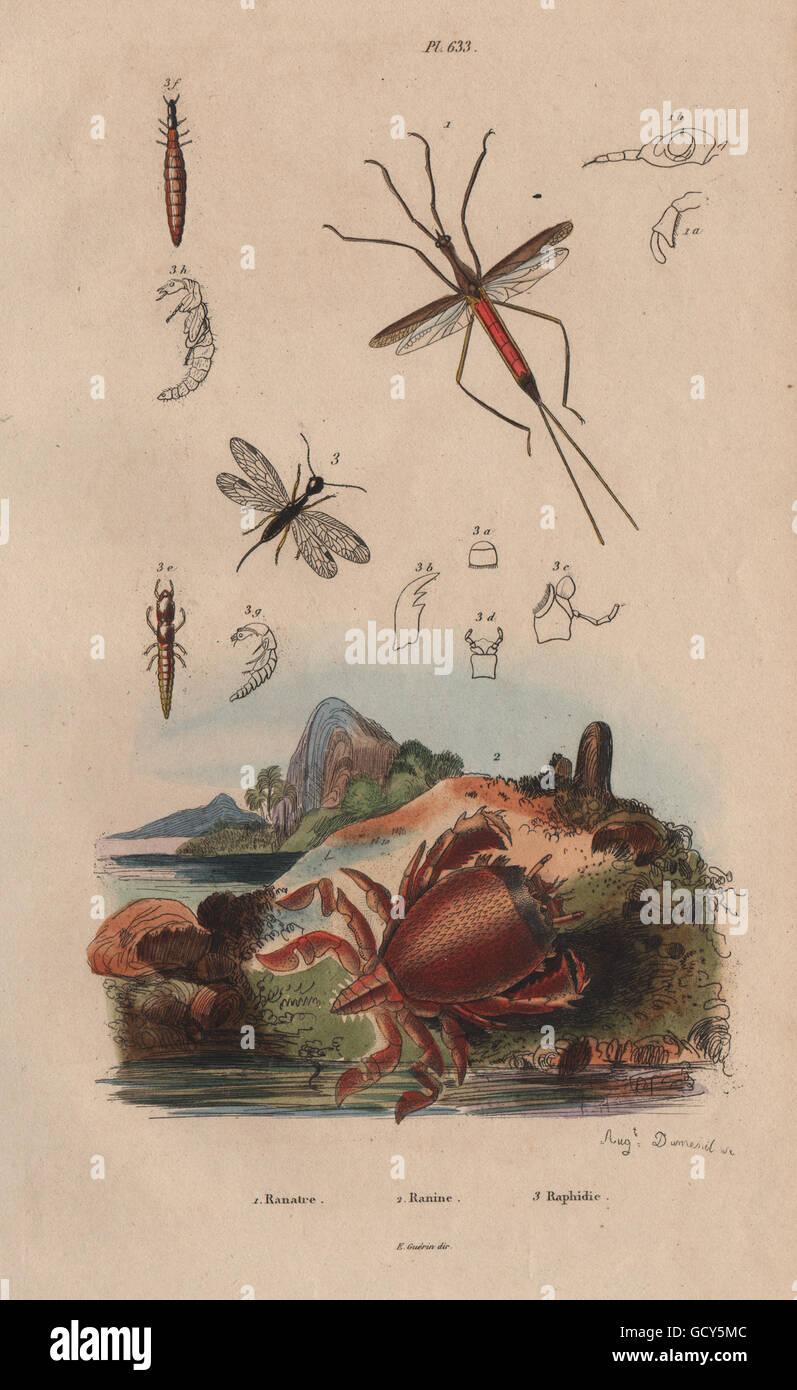 ranatra bug ranina spanner crab raphidioptera snakeflies