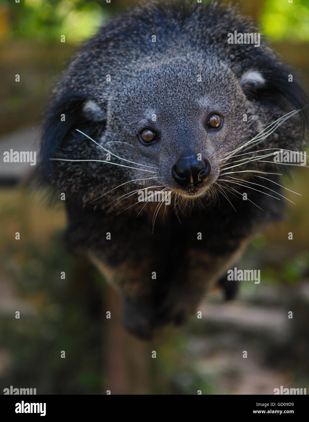 Binturong Bear Cat Stock Photos Binturong Bear Cat Stock Images
