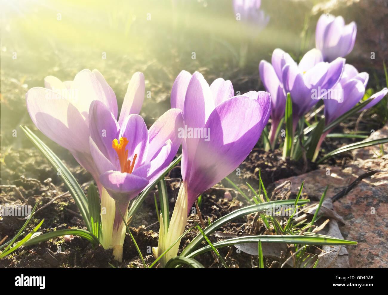 crocus blooming spring flowers stock photo royalty free image