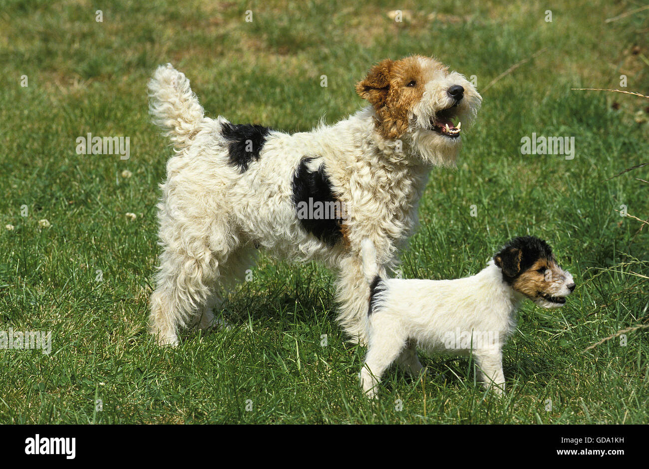 WIRE-HAIRED FOX TERRIER, MOTHER WITH PUPPY ON GRASS Stock Photo ...