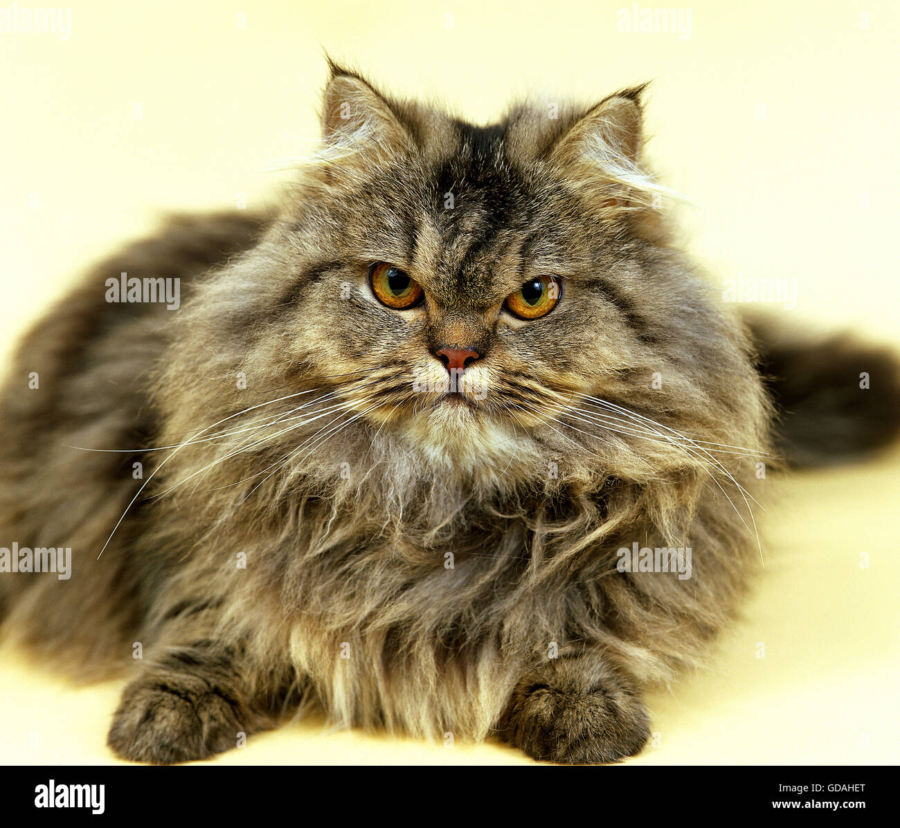 BROWN TABBY PERSIAN DOMESTIC CAT ADULT RESTING Stock