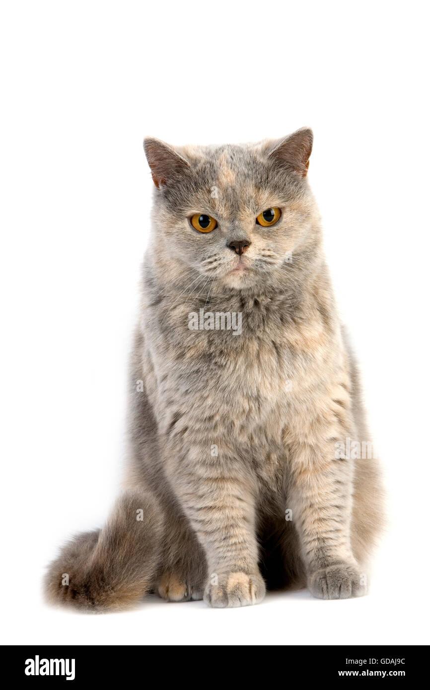 Blue Cream British Shorthair Cat Stock s & Blue Cream British