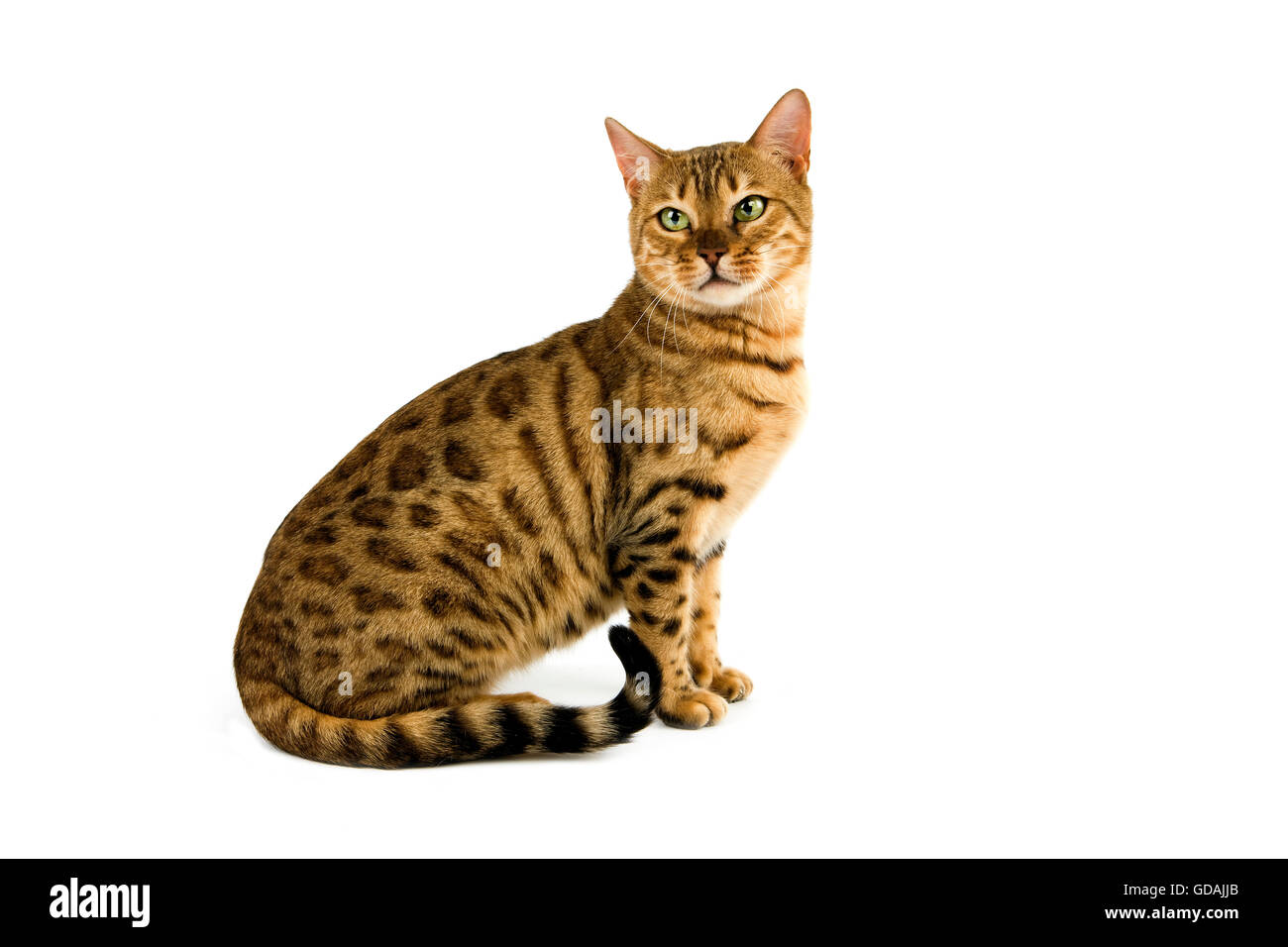 BROWN SPOTTED TABBY BENGAL DOMESTIC CAT, ADULT SITTING AGAINST ...