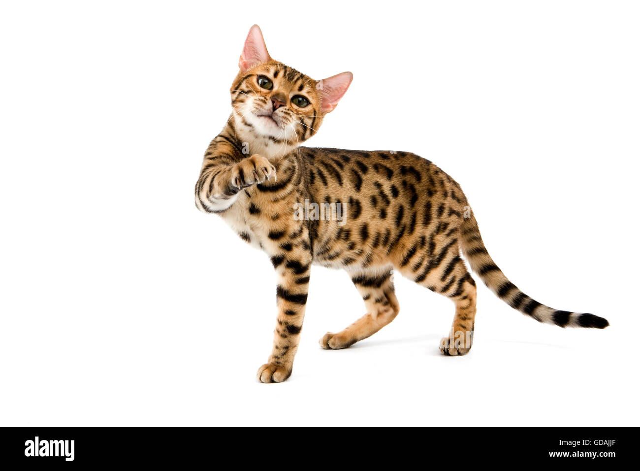 Brown Spotted Tabby Bengal Domestic Cat holding Paw up against ...